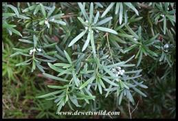 Leaves and female cones of the Real Yellowwood (Podocarpus latifolius)