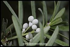 Female cones of the Real Yellowwood (Podocarpus latifolius)