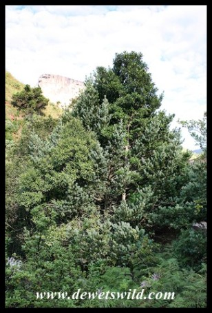 Henkel's Yellowwood (Podocarpus henkelii) in Royal Natal National Park
