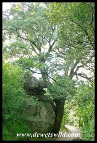 Real Yellowwood (Podocarpus latifolius)