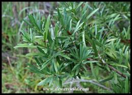 Leaves of the Real Yellowwood (Podocarpus latifolius)