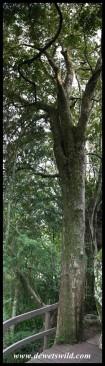 Real Yellowwood (Podocarpus latifolius) along the Mahai stream at Royal Natal
