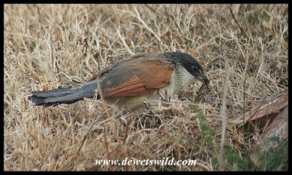 Burchell's Coucal (photo by Joubert)