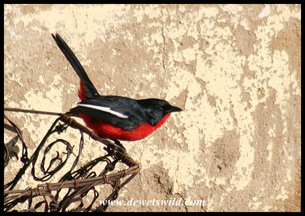 Crimson-breasted Shrike (photo by Joubert)