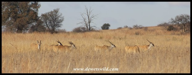 Eland in the long, dry grass