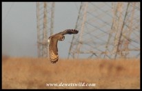 Marsh Owl in flight (photo by Joubert)