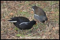Common Moorhen and almost fully grown chick