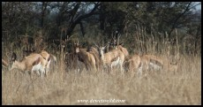 Springbok and Blesbok mixing