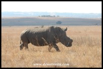 White Rhinoceros (its horns have been removed to protect against poachers)