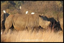 White Rhino herd (their horns have been removed to protect against poachers)