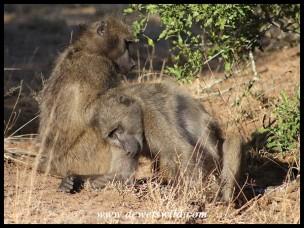 Grooming Chacma Baboons