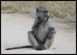 Baboon youngster thinking of mischief