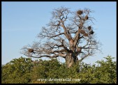Baobab with Buffalo Weaver nests