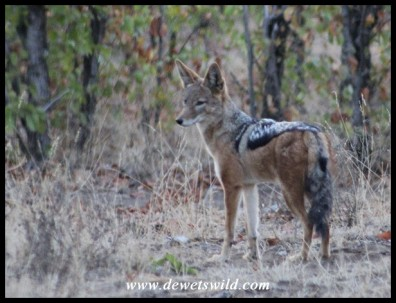 Black-backed Jackal at Shipirivhiri Waterhole