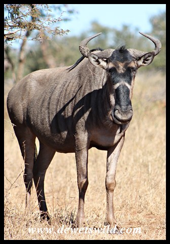 Blue Wildebeest with an unusual chevron mark on its muzzle