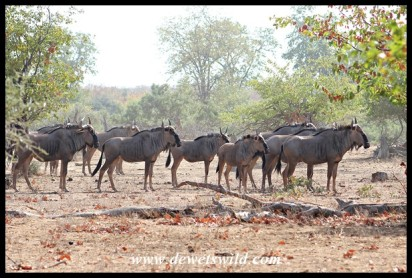 Blue wildebeest herd