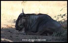 Blue Wildebeest having a rest in the shade