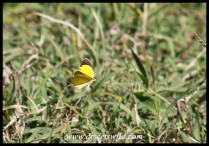 Broad-bordered Grass Yellow in flight