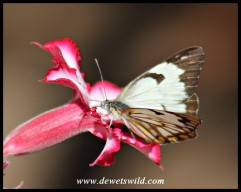 African Veined White slurping nectar from an Impala Lily flower