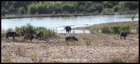 Buffaloes next to the Sabie River