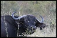 Buffalo cow