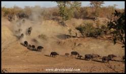 Buffalo herd rushing to the water
