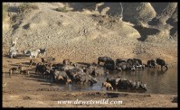 Buffaloes slaking their thirst while zebras wait their turn