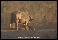 Buffalo bull drinking