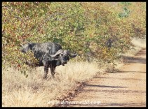 Buffalo bull emerging from the mopane