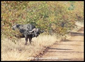 Buffalo bull emerging from the mopane
