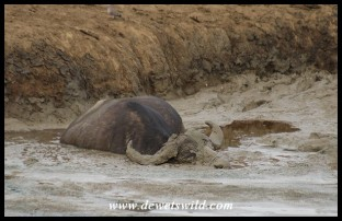 Old buffalo trapped in a muddy waterhole