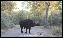 Buffalo on the Mphongolo loop