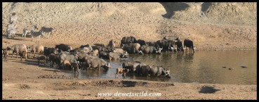 Buffalo herd at the water (photo by Joubert)