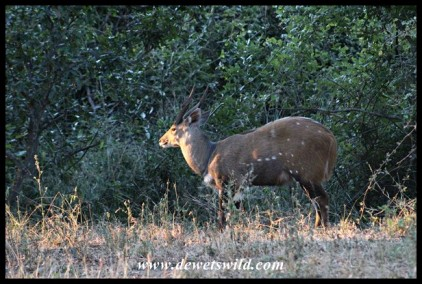 Bushbuck Ram at sunset
