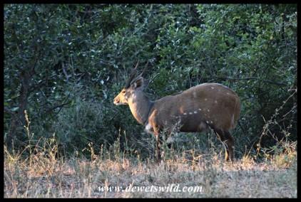 Bushbuck Ram at sunset
