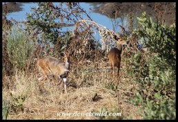 Bushbuck at the water's edge