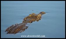 Enormous Nile Crocodile at Sunset Dam