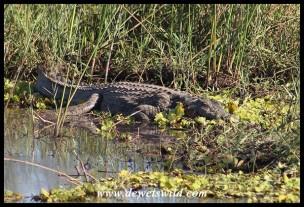 Medium-sized Nile Crocodile