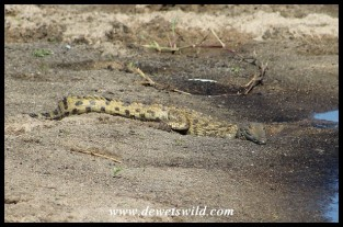 Baby Nile Crocodile