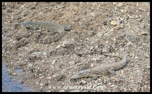 Baby Nile Crocodile and Adult Water Monitor lying next to a pool in the Shingwedzi River