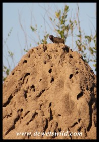 Dwarf Mongoose standing sentry atop a termite mound