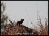Dwarf Mongoose standing sentry atop a termite mound
