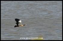 Egyptian Goose in flight (Joubert's photo)