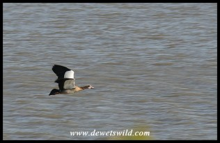 Egyptian Goose in flight (Joubert's photo)