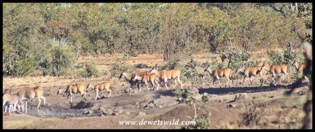 Eland gathering at a watering hole north of Babalala