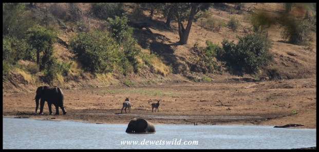 Elephants and waterbuck at a deep pool in the otherwise dry Shingwedzi