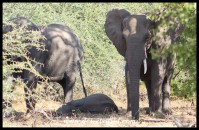 Elephant calf fast asleep