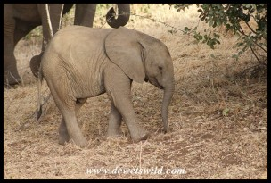 Cute elephant calf