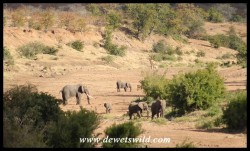Elephants in a dry riverbed