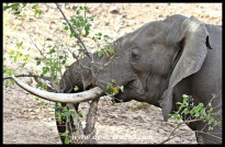Elephant bull destroying a small tree
